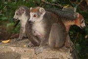 lemur-parc-national-ankarana-madagascar